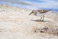 Sandpiper on Naples beach