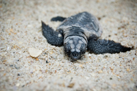 Sea Turtle hatchling at Naples beach