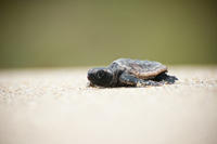 Sea Turtle hatchling on its way to sea