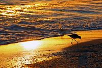 Shorebird on Naples beach at sunset
