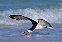 Skimmer Feeding on Naples Gulf Coast