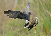 Snail Kite pair just prior to copulation