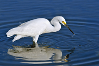 Snowy Egret fishing in Florida