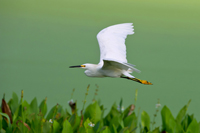 Snowy Egret in flight over Florida wetland