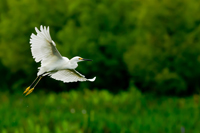 Snowy Egret in Florida wetland
