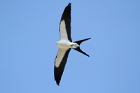 Swallow-tailed Kite in flight over Naples
