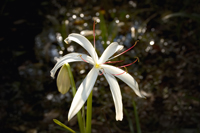 Swamp Lily in the Florida Everglades