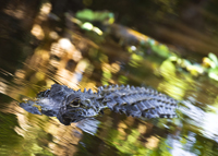swimming American alligator