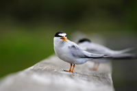 Tern perched on Naples boardwalk rail