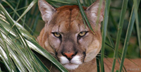 The majestic yet endangered Florida Panther