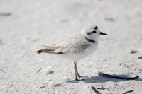 Threatened Snowy Plover on Naples beach