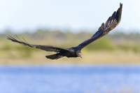 Turkey vulture in flight in Southwest Florida
