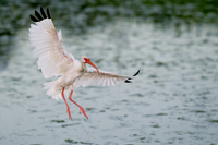 White Ibis landing in Florida wetland