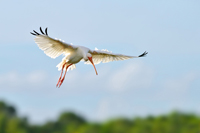 White Ibis making graceful landing Florida
