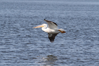 White Pelican over the Florida Everglades