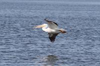 White Pelican over the Florida Everglades