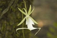 Wild Ghost Orchid in the Florida Everglades