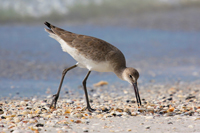 Willet picking up a shell on the beach