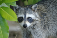 Young Raccoon hiding Naples Florida